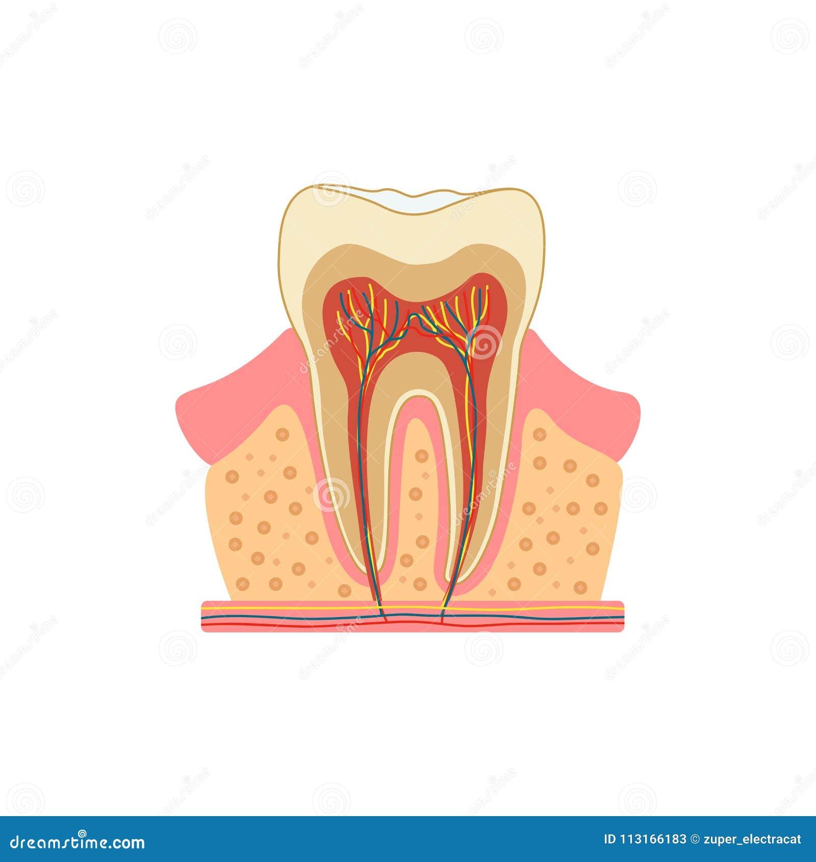 Tand in een besnoeiing Medisch diagram van de structuur van de binnendwarsdoorsnede van de tand Vector infographic concept
