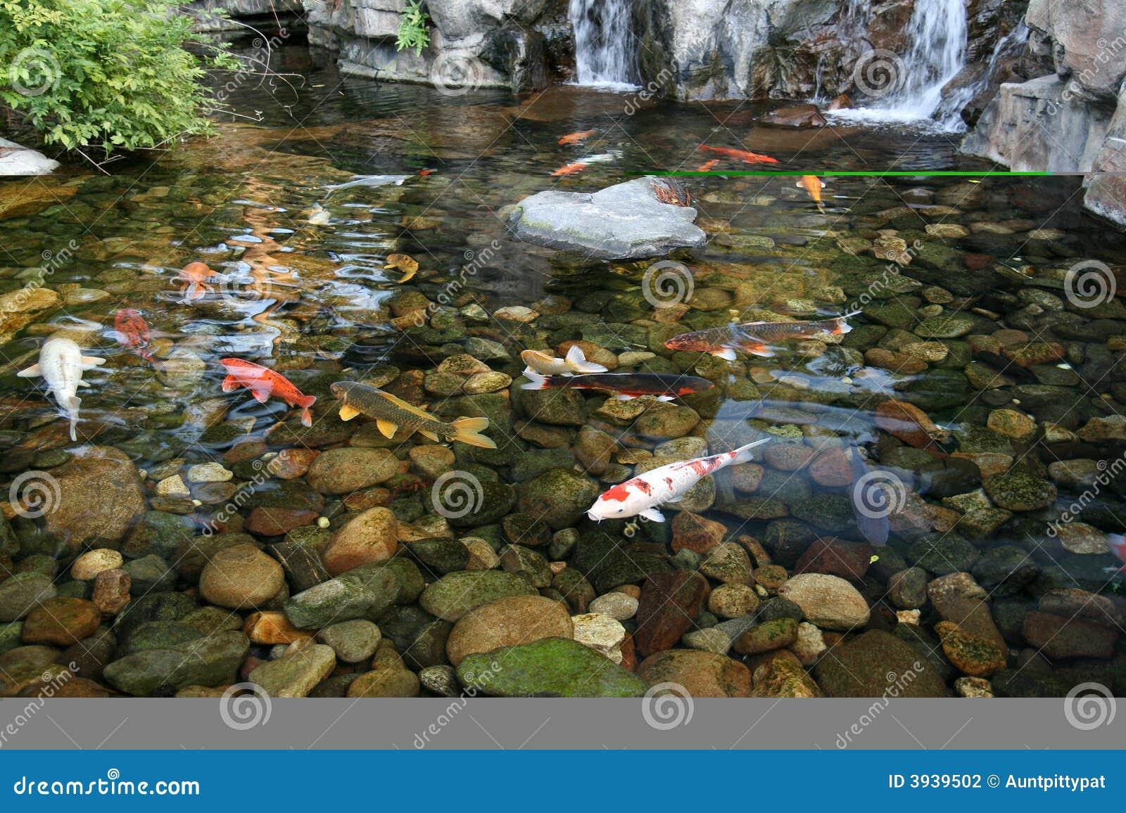 Tang de poissons japonais de koi photographie stock for Achat poisson etang