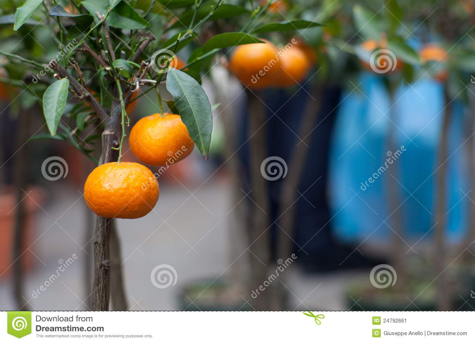 Tangerine δέντρο