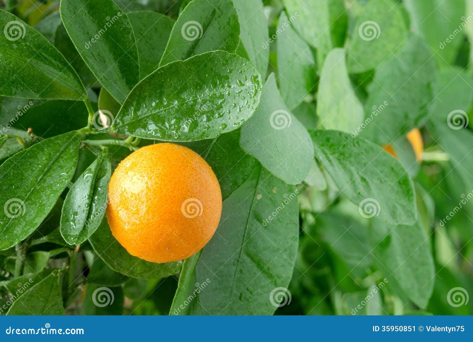 Tangerine on a citrus tree.