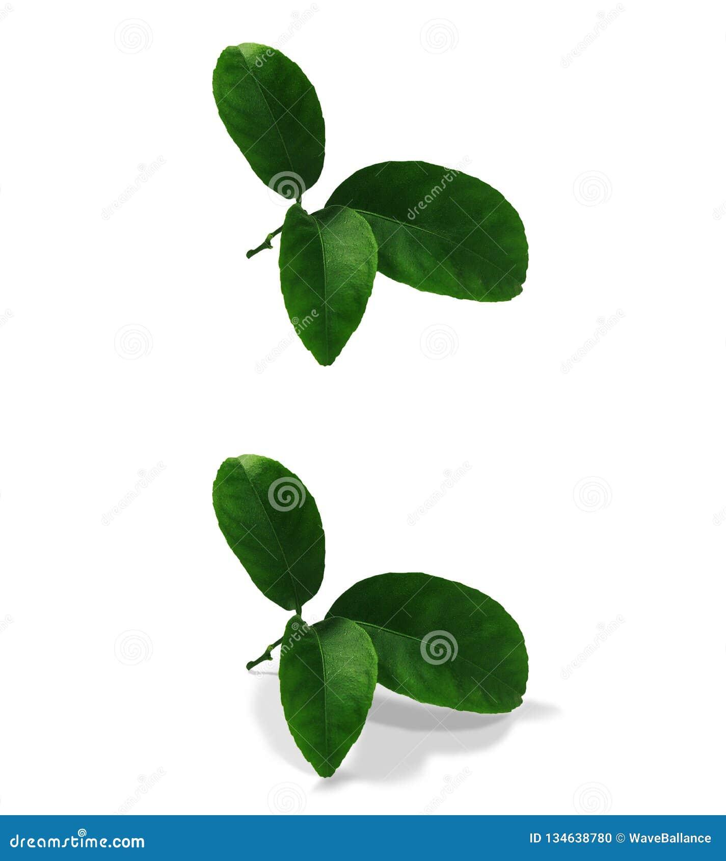 Tangerine zieleni liście odizolowywający bez cienia i z oryginalnym cieniem nad tła PNG białym i przejrzystym Var3