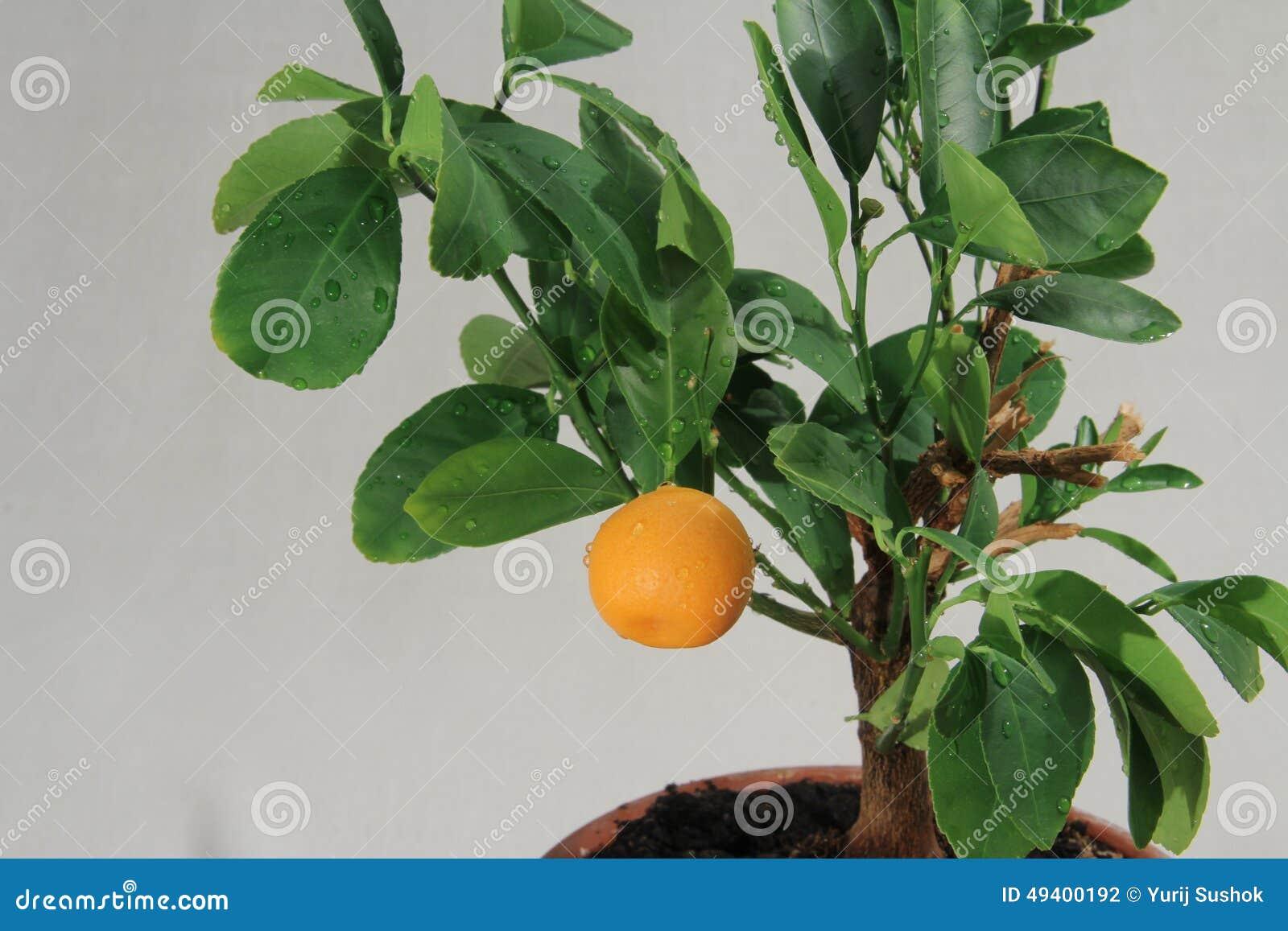 Download Tangerinebaum stockfoto. Bild von bild, italienisch, dekorativ - 49400192