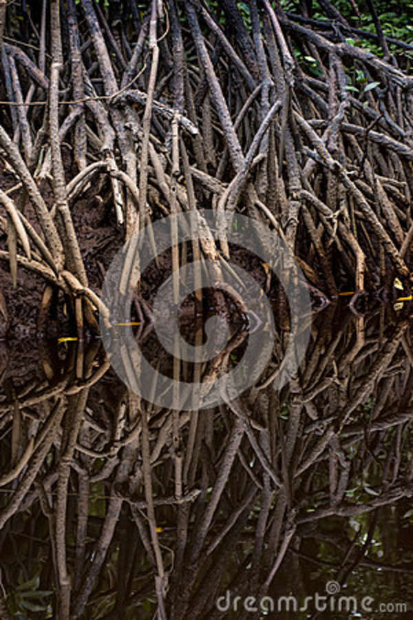 Tangle of Mangrove tree roots and branches growing in to a calm