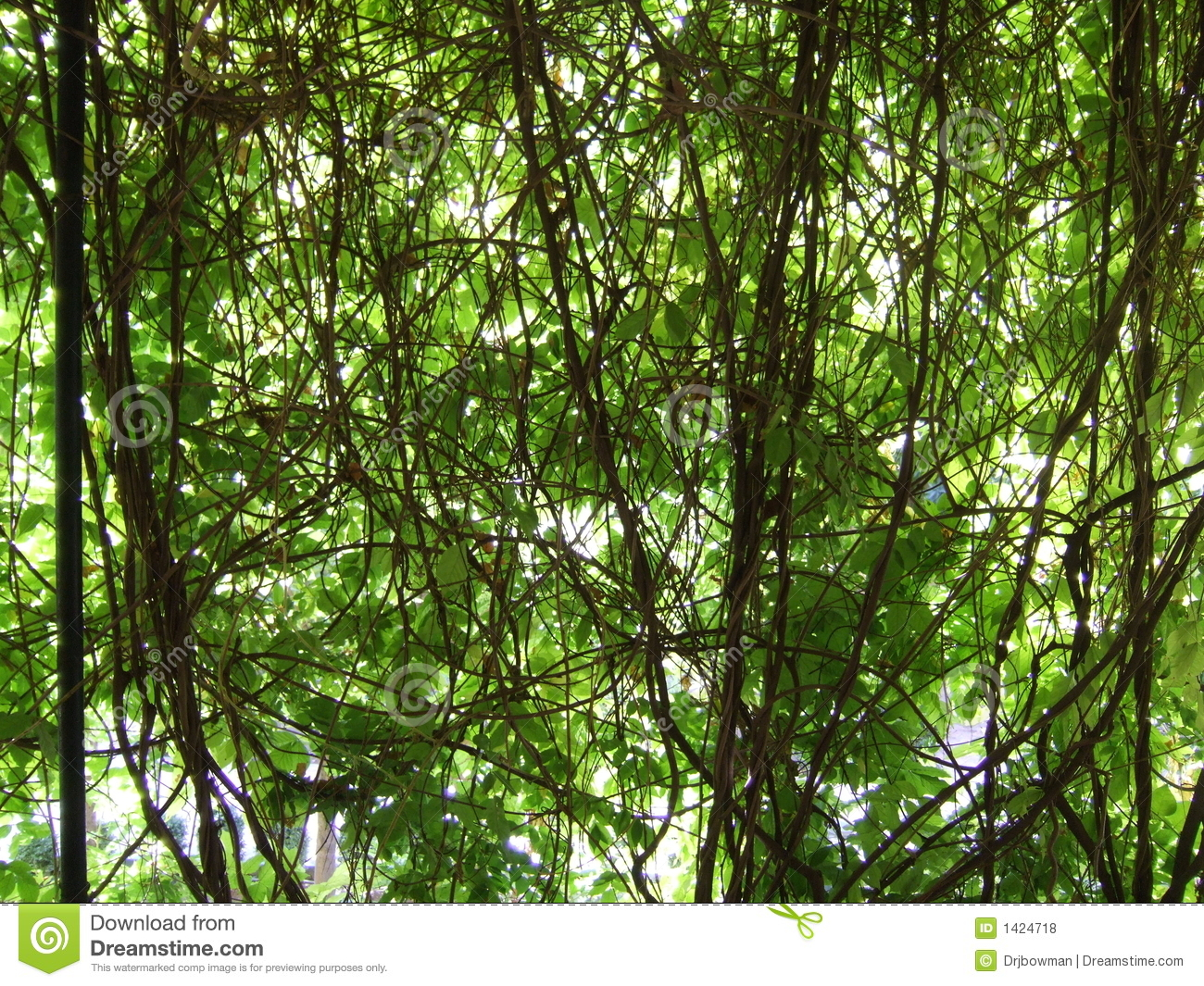 Tangle Of Vines Royalty Free Stock Photos - Image: 1424718