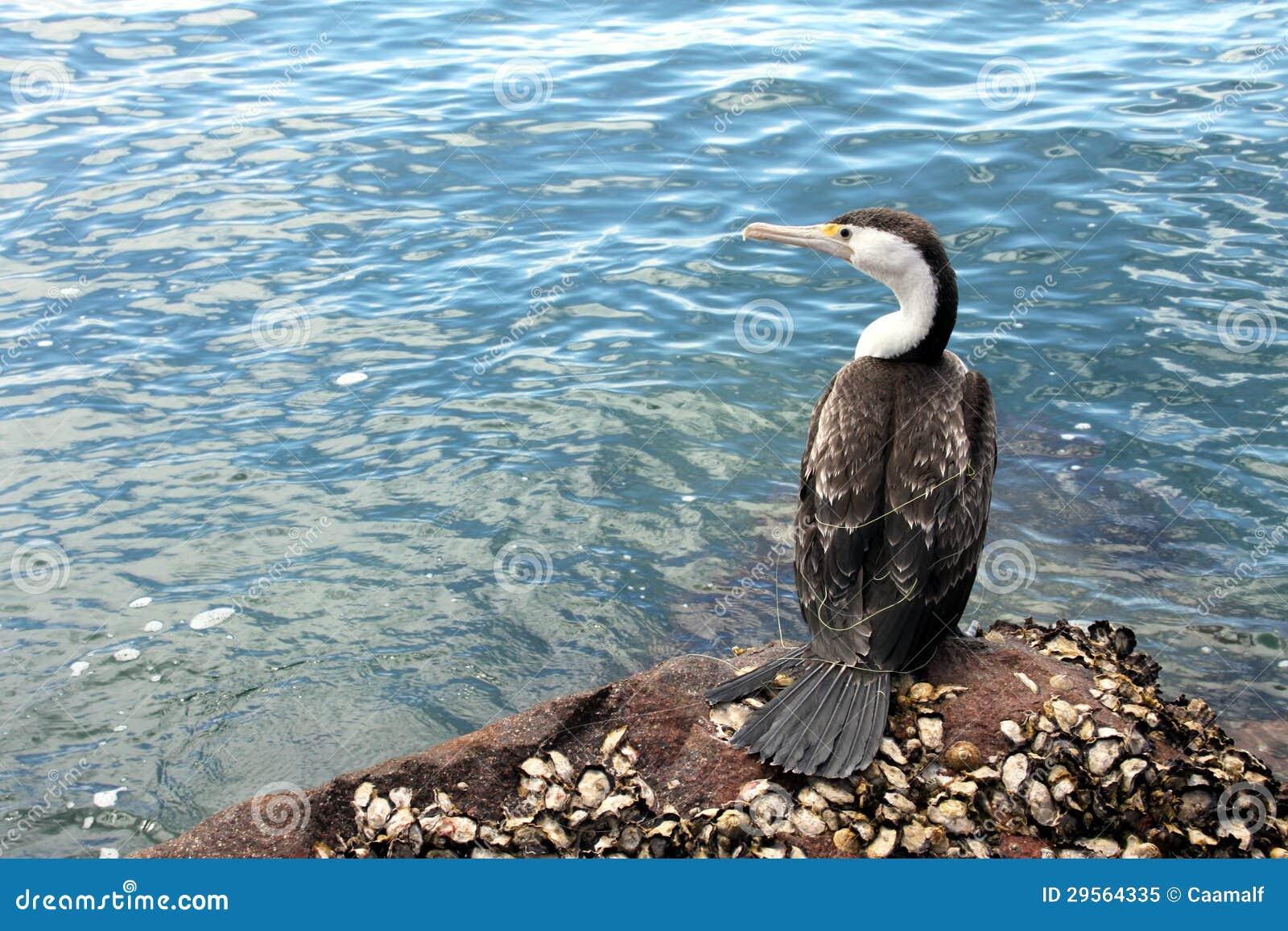 tangled australian pied cormorant  phalacrocorax varius  in nels stock image