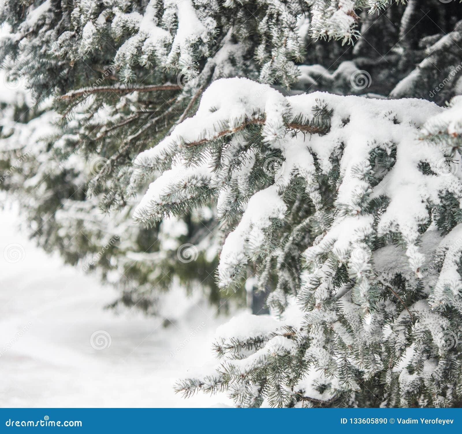 Tannen-Baumast mit Schnee