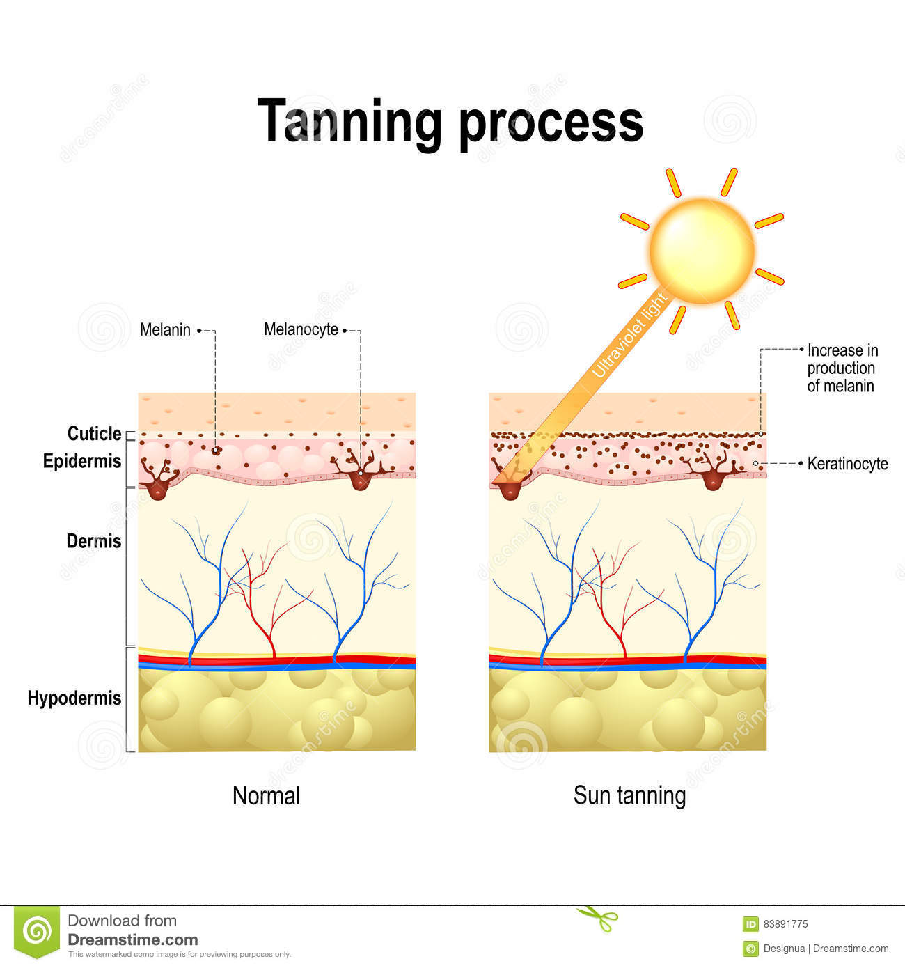 Tanning Process Skin Human Anatomy Stock Vector Illustration Of