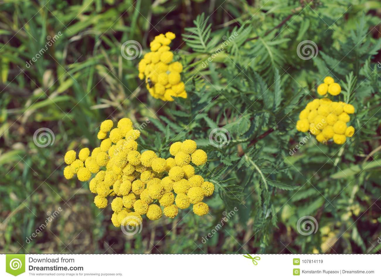 Tansy Blooms Yellow Flower Close Up Stock Image Image Of Flower