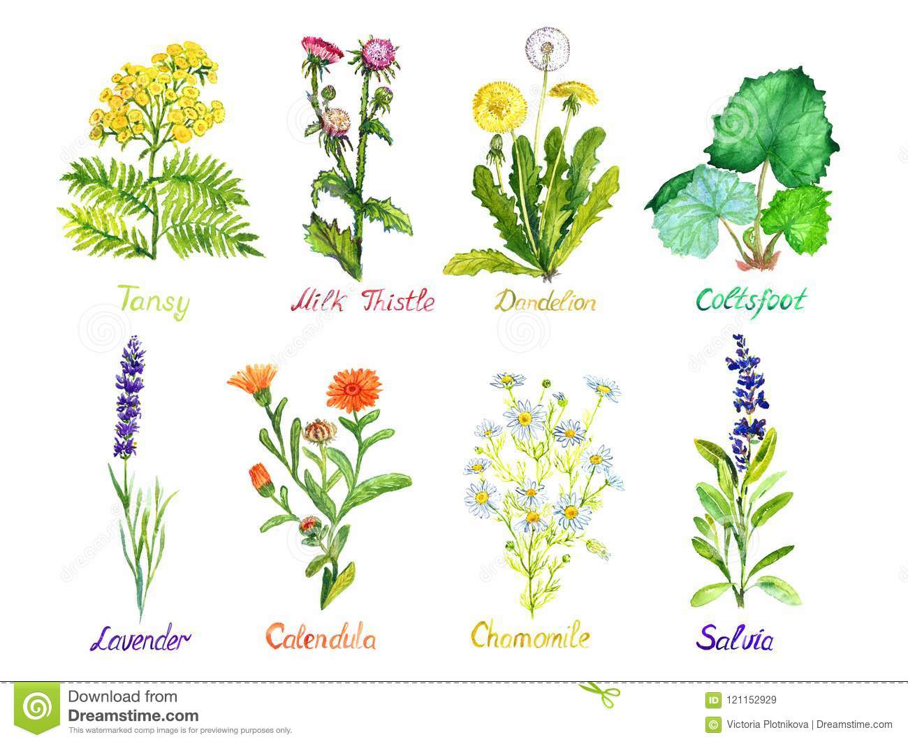 Tansy, milk thistle, dandelion, coltsfoot, lavender, calendula, chamomile and salvia, medical wild flowers collection, isolated