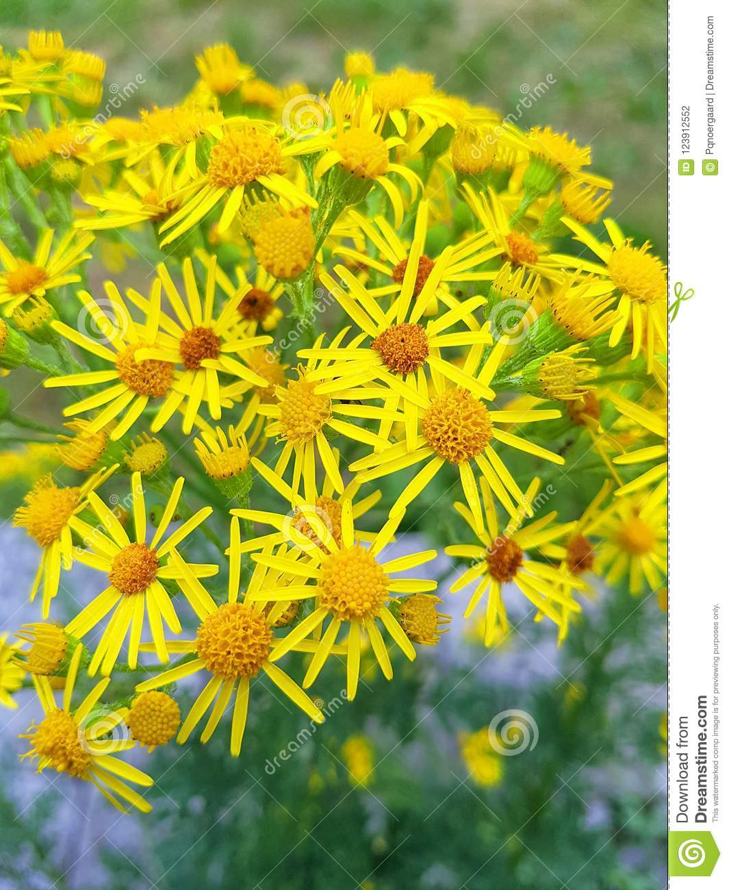 Tansy ragwort a poisonous flower when eaten by horses or cows download tansy ragwort a poisonous flower when eaten by horses or cows stock photo mightylinksfo