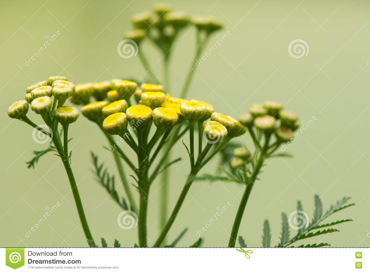 Tansy Tanacetum Vulgare Plant Flowers Stock Image Image Of Plant