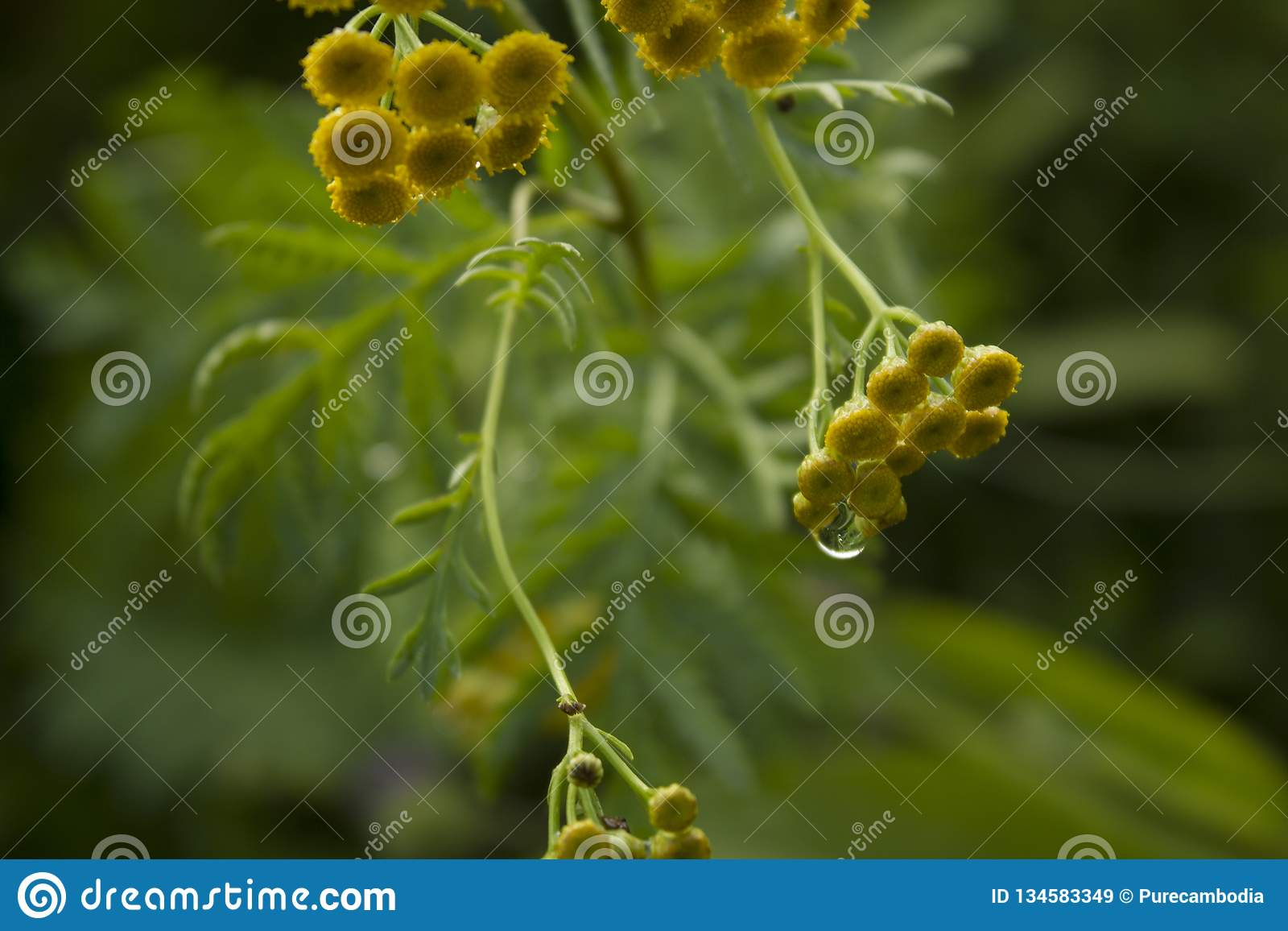 Tansy, yellow flowers with drops background