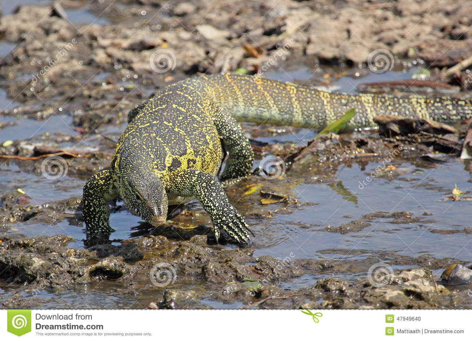 Nile monitor videos photos and facts  Varanus niloticus