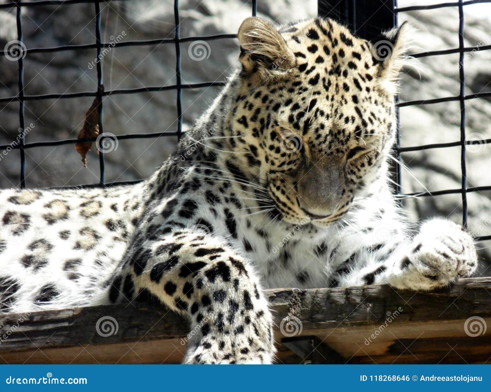 Tapet av closeupen av den lösa leoparden som ligger på ett träbräde på zoo, stående av den rovdjurs- kattdjuret i en bur