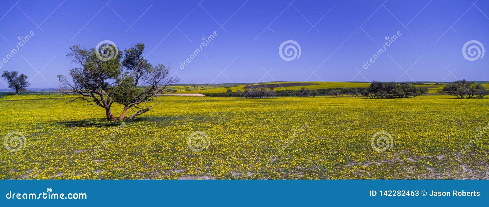 Tapijt van gele wildflowers in Westelijk Australië