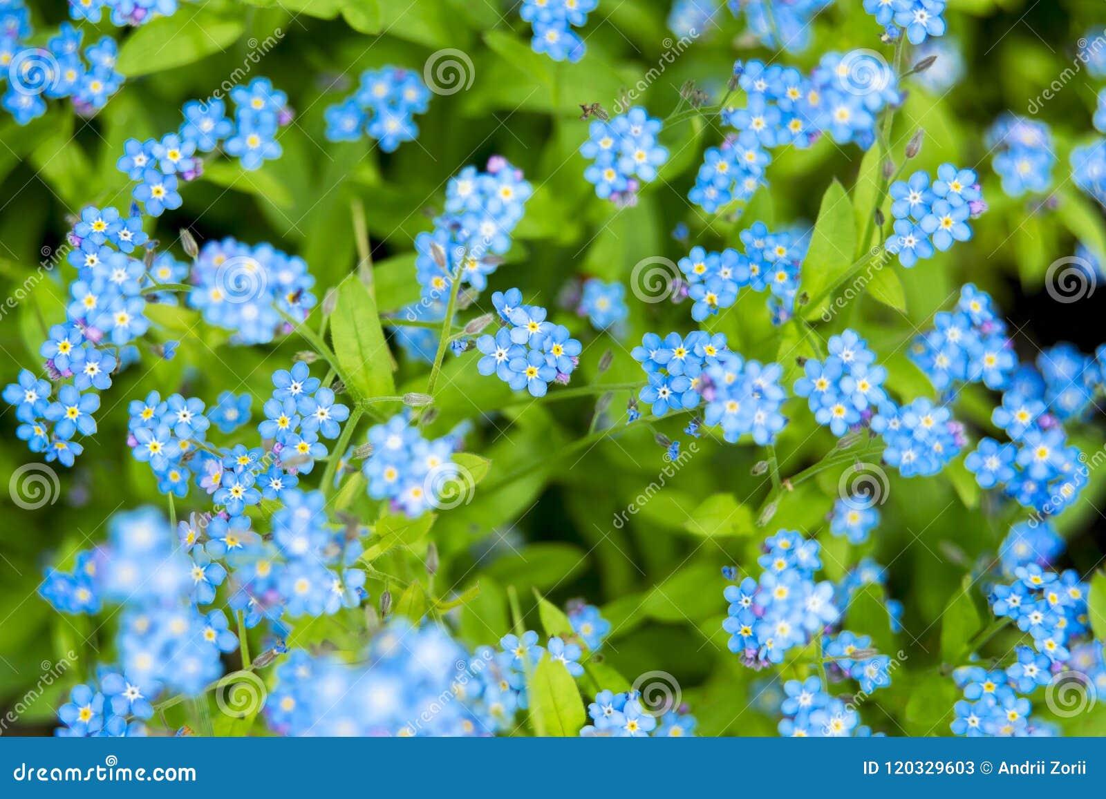 Tapijt van Nemophila, of bloem van baby de blauwe ogen
