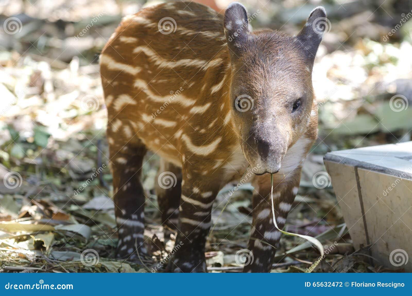Tapir américain
