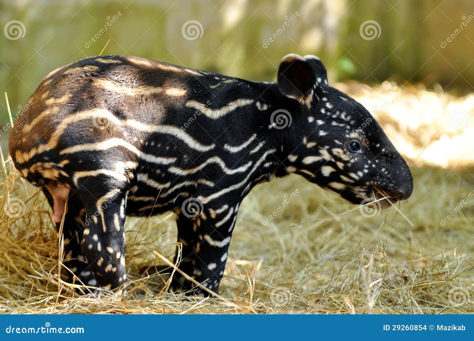 Tapir de chéri