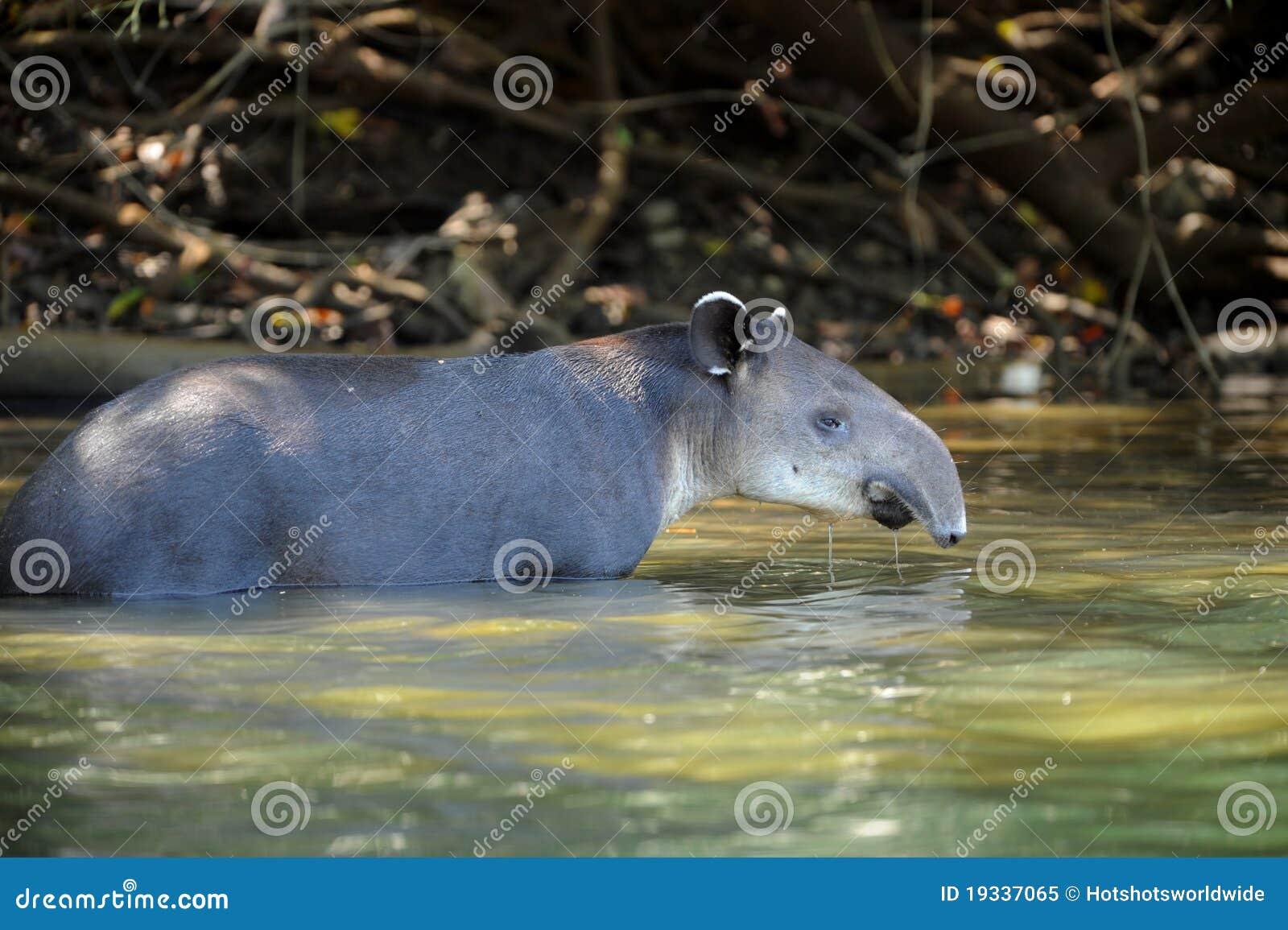 Tapir för flod för rica för corcovadocostanationalpark