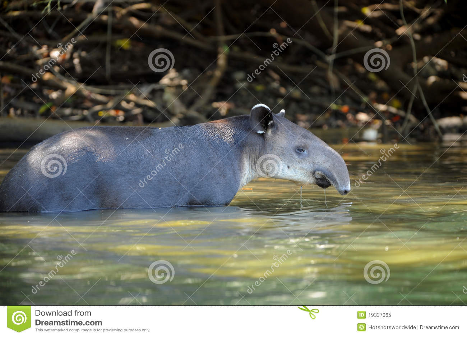 Tapir in fiume, sosta nazionale di corcovado, Costa Rica