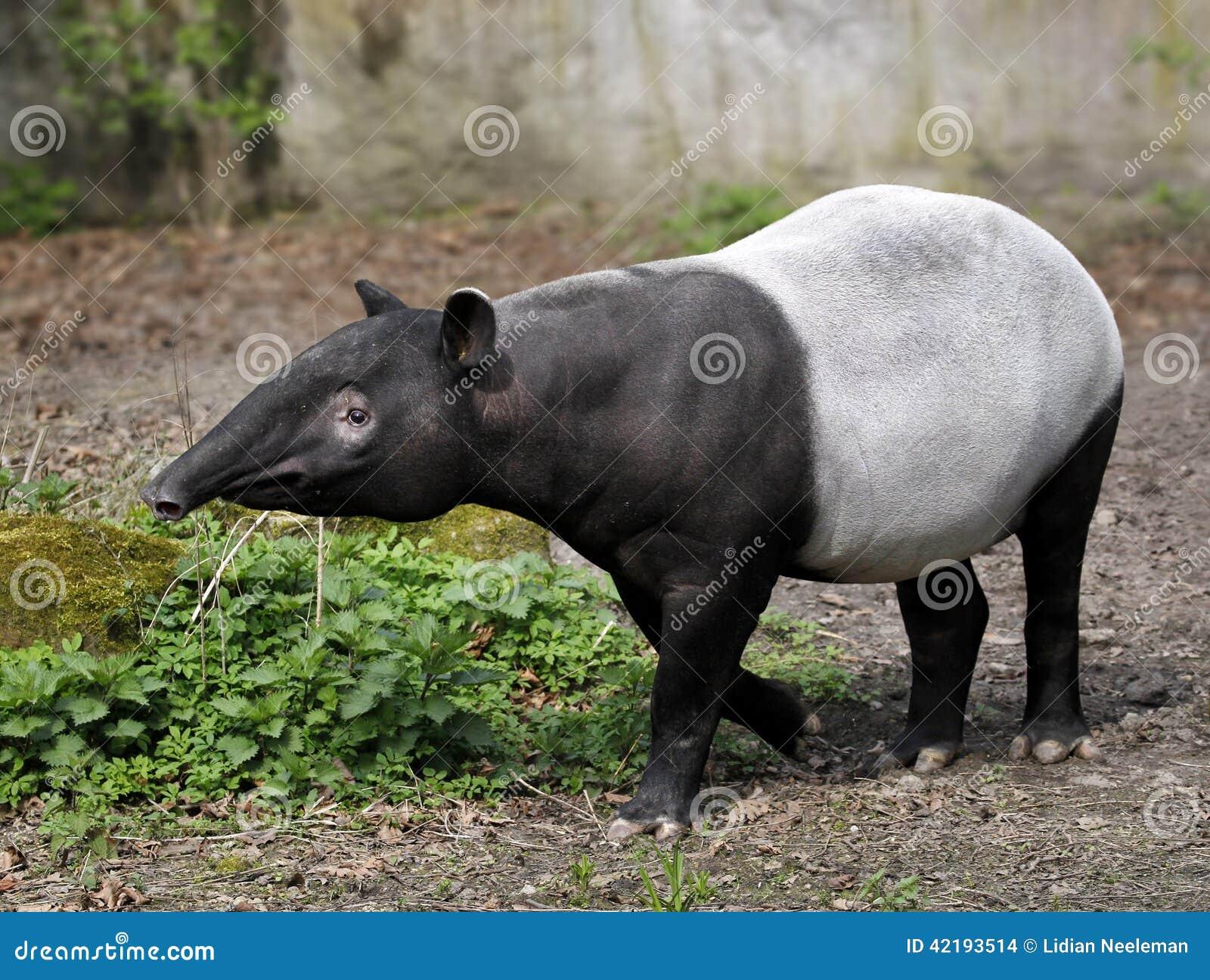 Tapir - indicus Tapirus