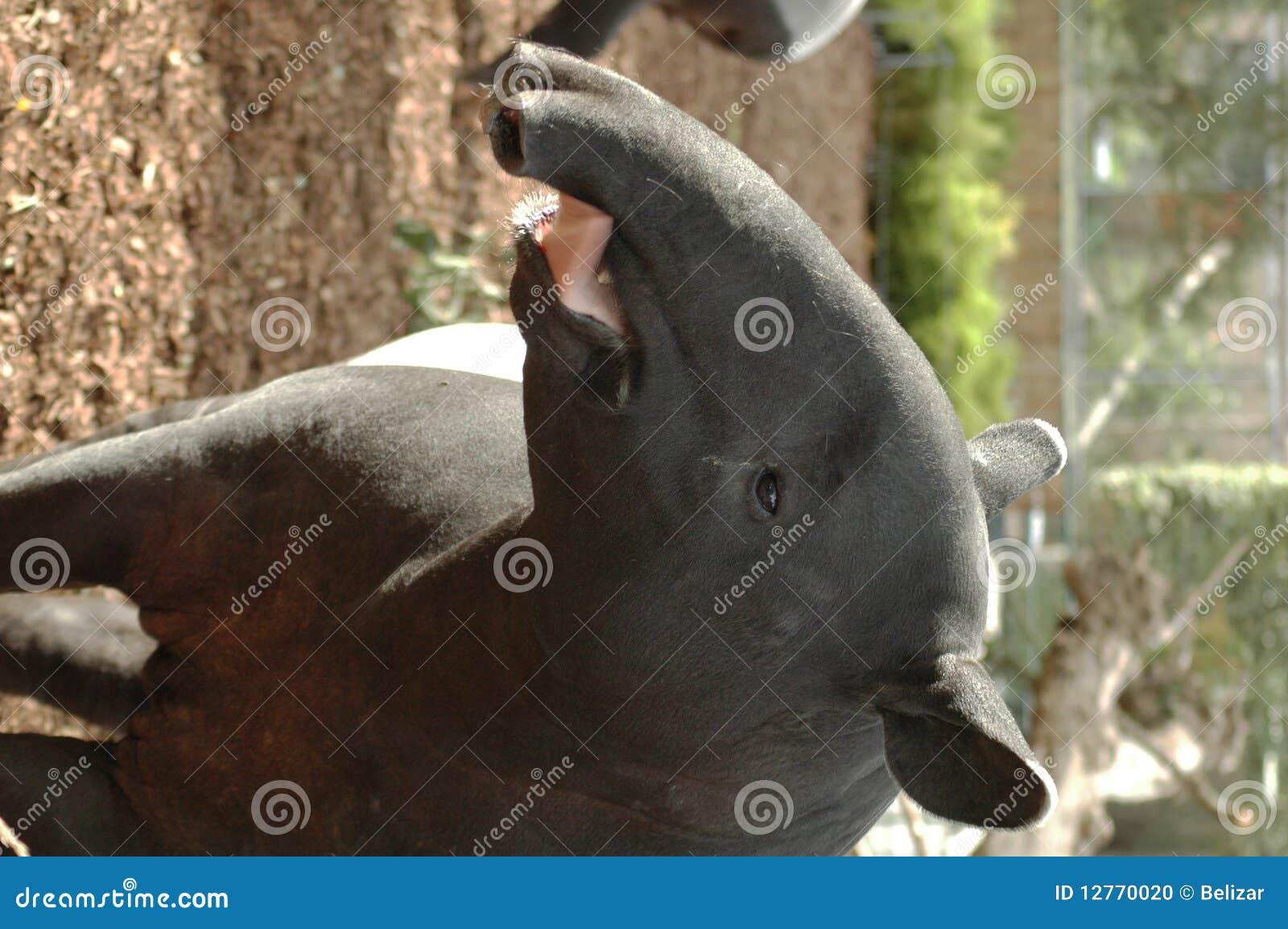 Tapir Malayan (indicus do Tapirus)