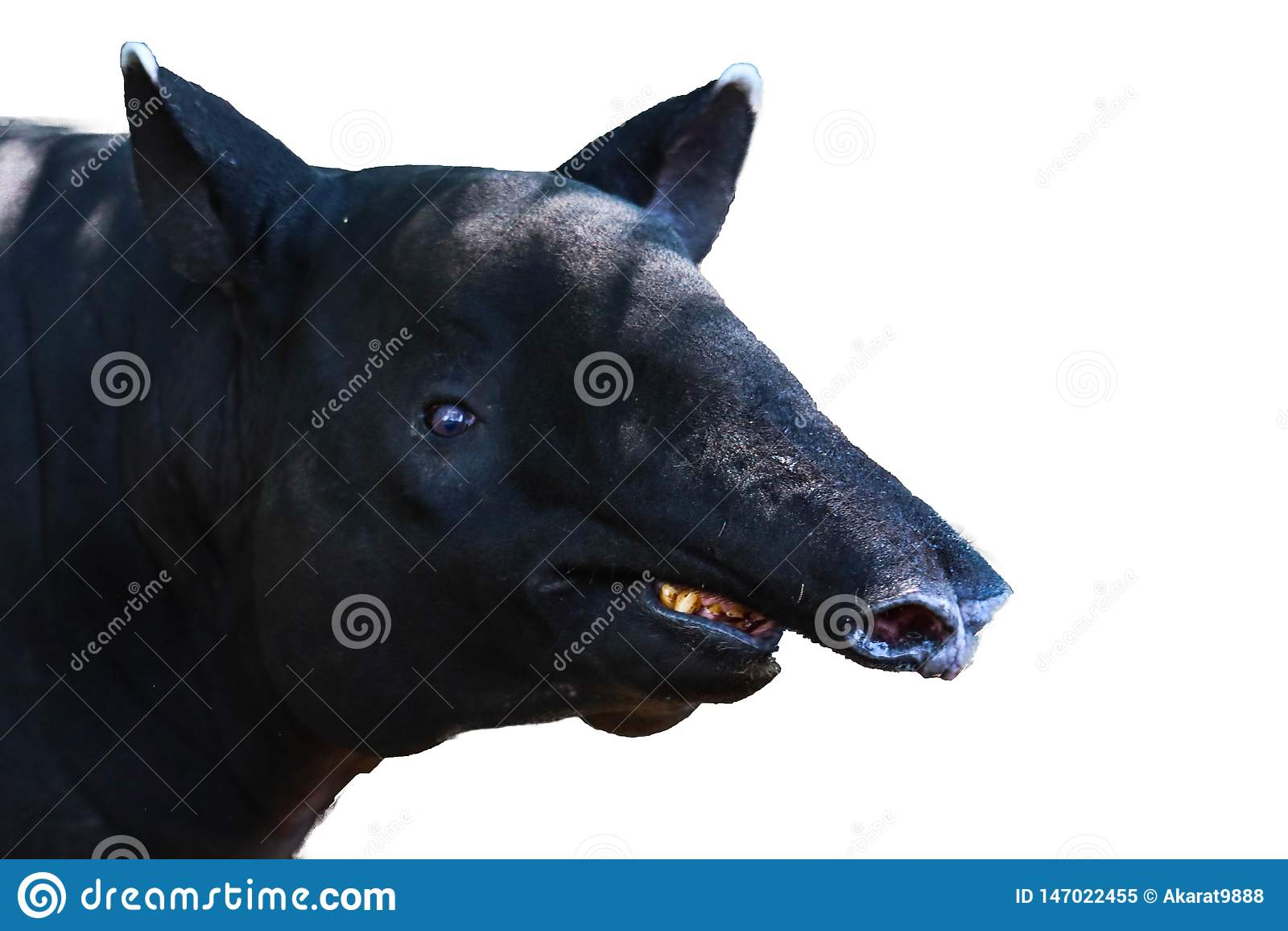 Tapir odizolowywający na białym tle