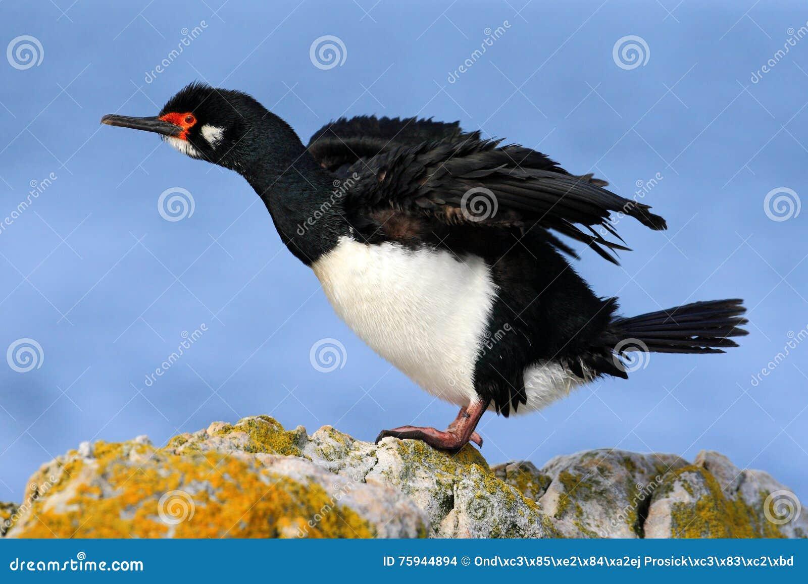 Tapis à longs poils de roche, magellanicus de Phalacrocorax Tapis à longs poils noire et blanche de roche de cormoran avec la fac