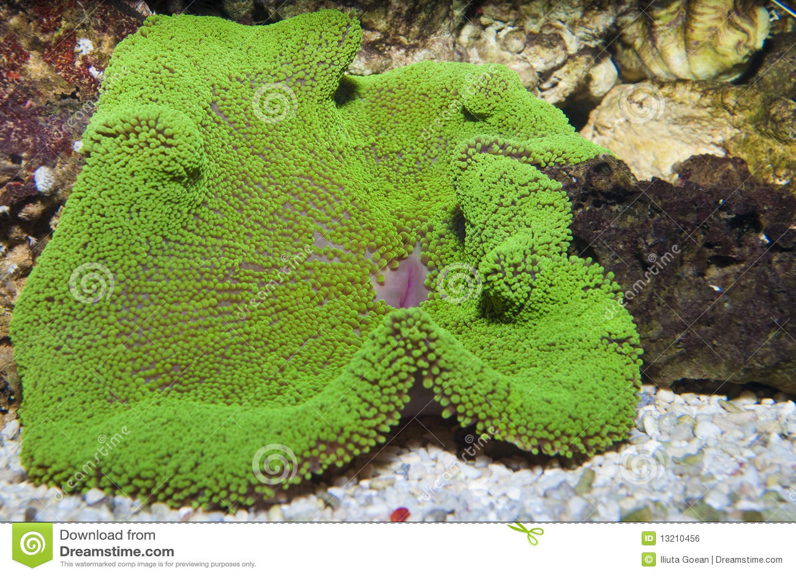 Carrelage Design le tapis vert : Tapis Vert Du0026#39;anu00e9mone Image libre de droits - Image: 13210456