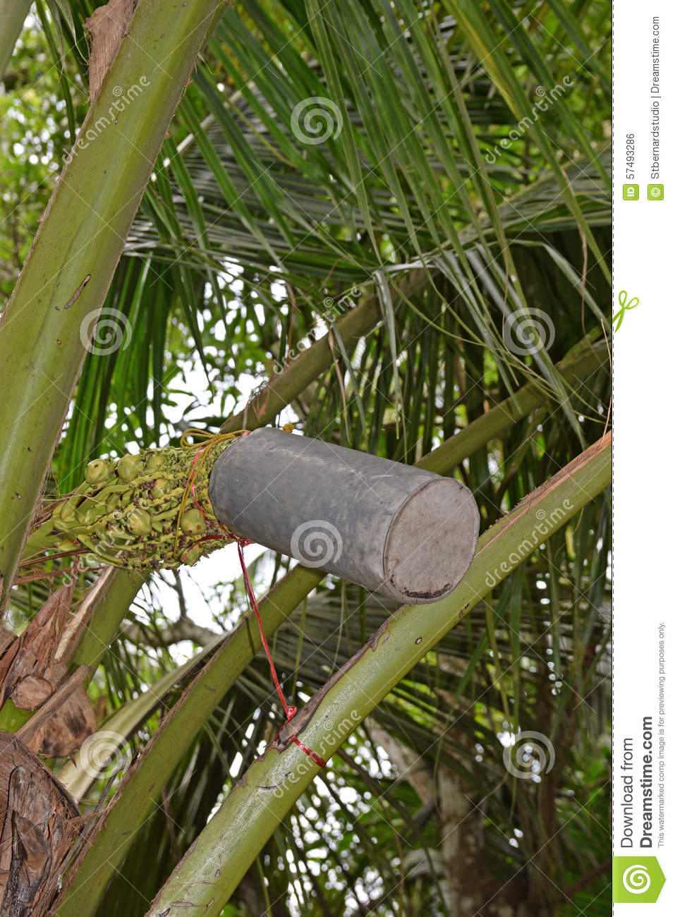 Tapping coconut tree flower blossoms for the sap by using container to produce sugar