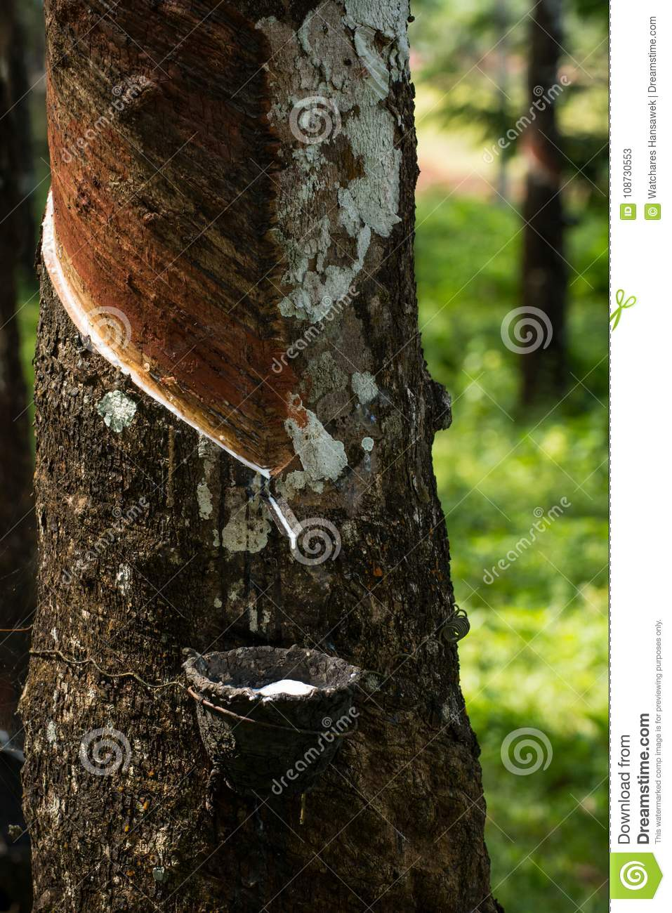 Tapping Rubber, Rubber Plantation Lifes, Rubber Plantation