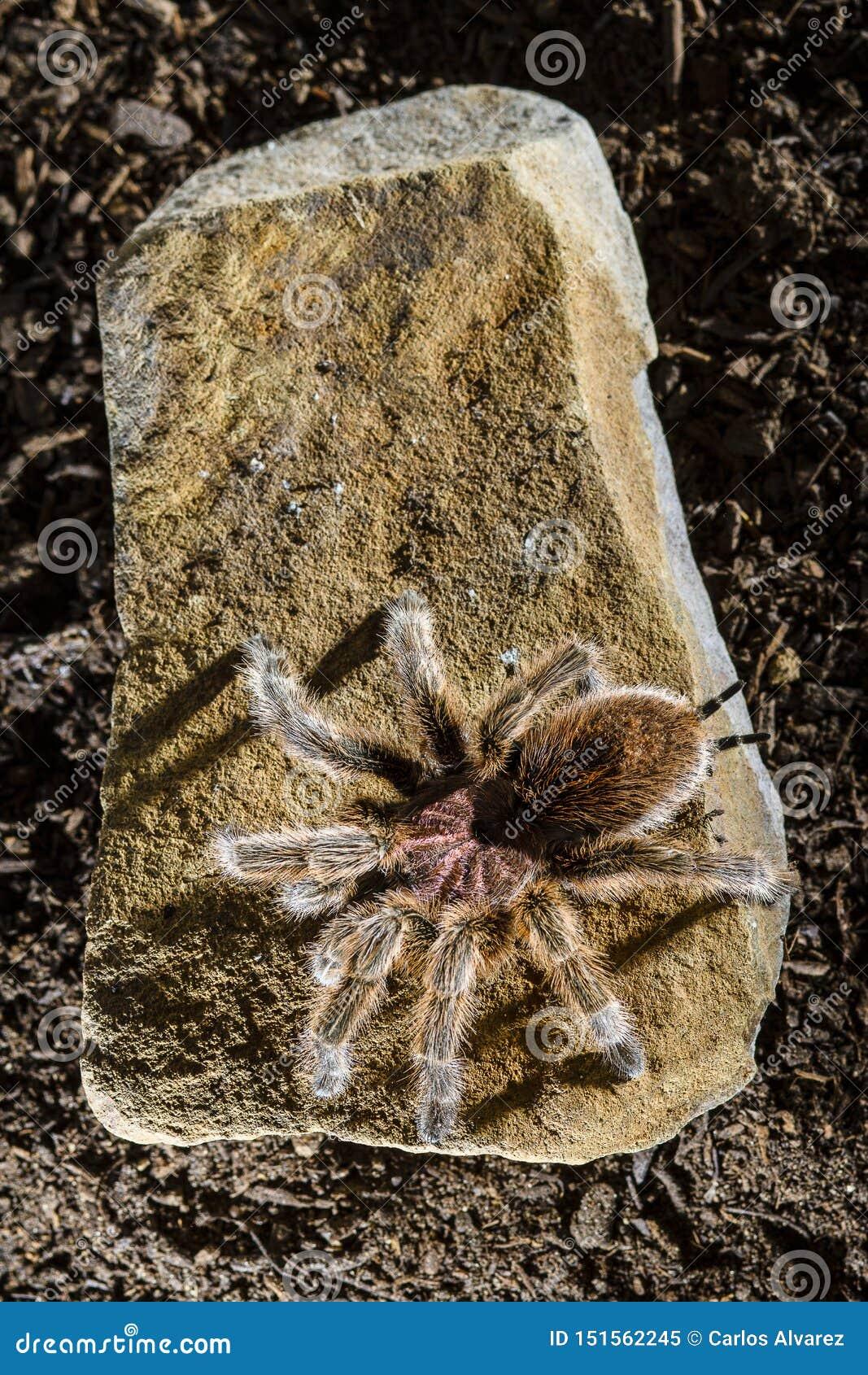 Tarântula cor-de-rosa chilena em um fundo escuro da rocha
