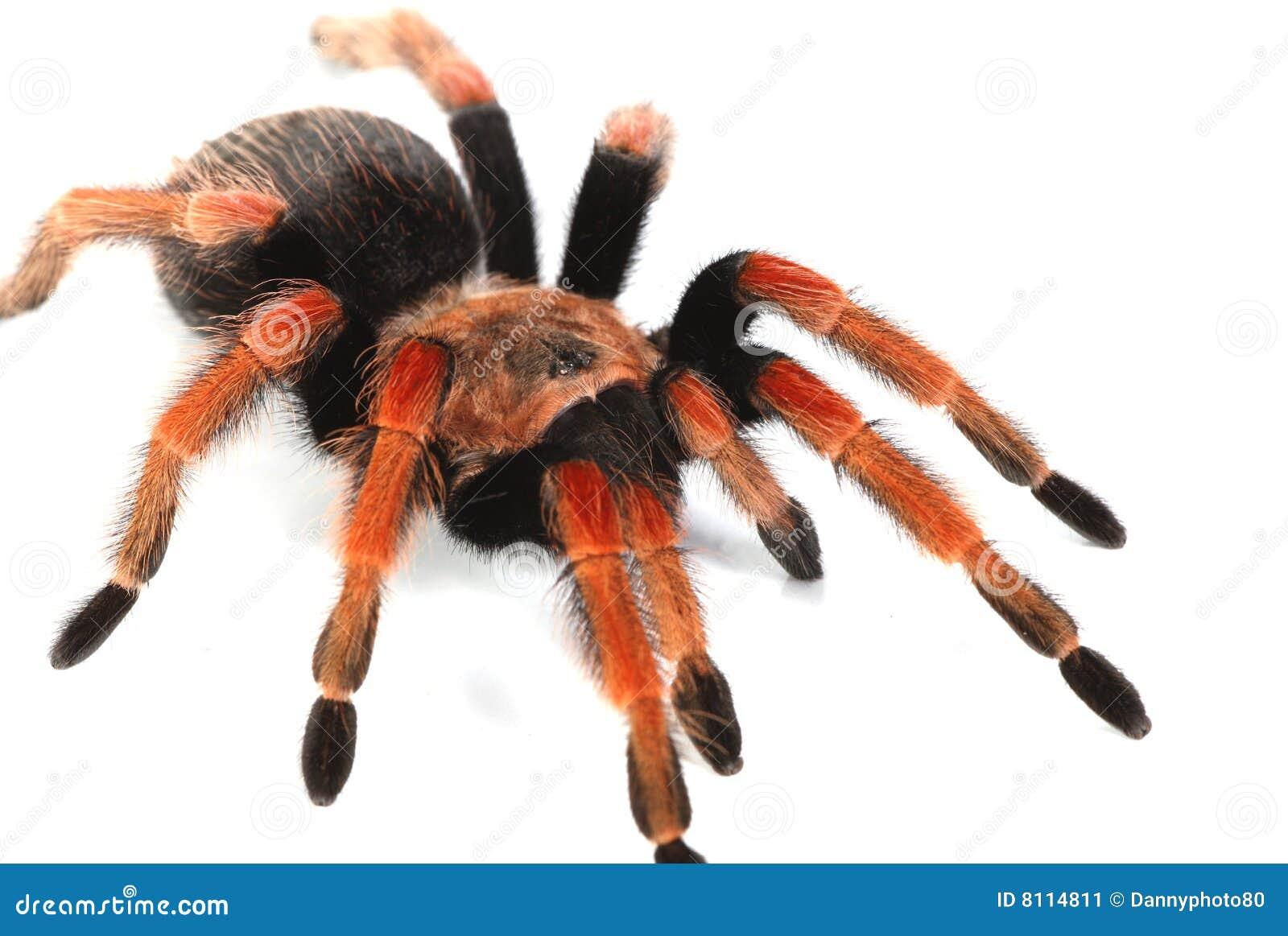 Гигантские тарантул, движущаяся визуальное представление гигантского паука!
