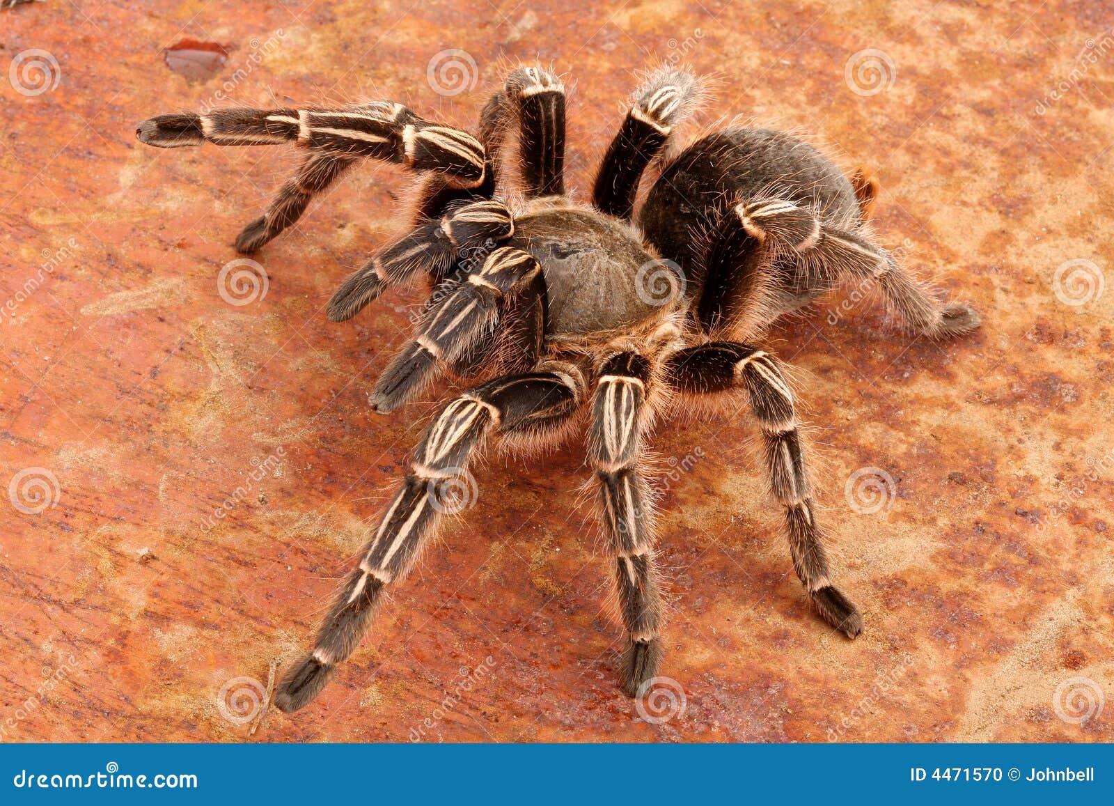 Tarantula de zèbre