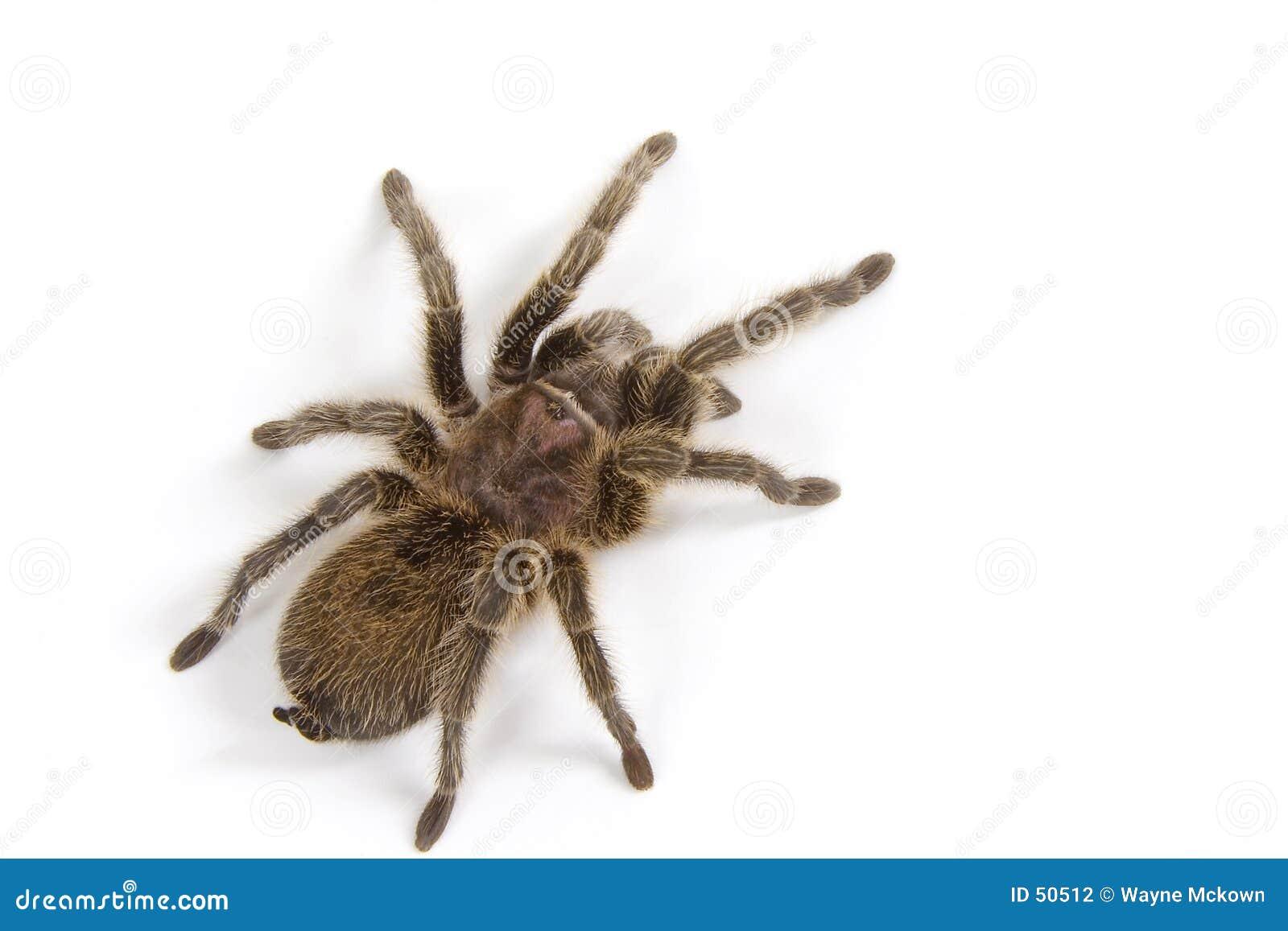 Tarantula en blanco
