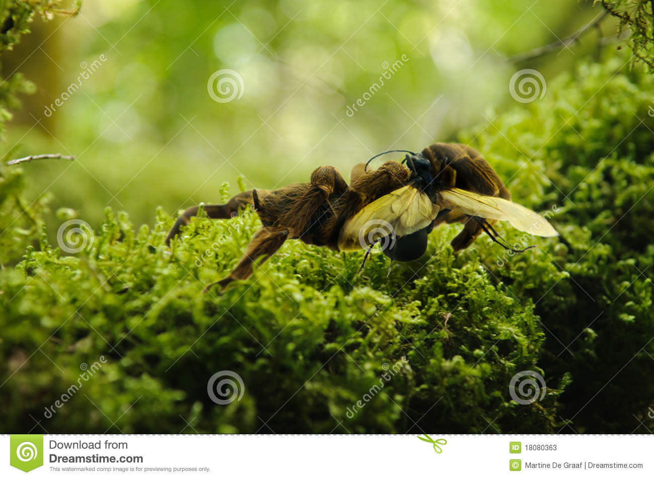 Tarantula and hawk wasp
