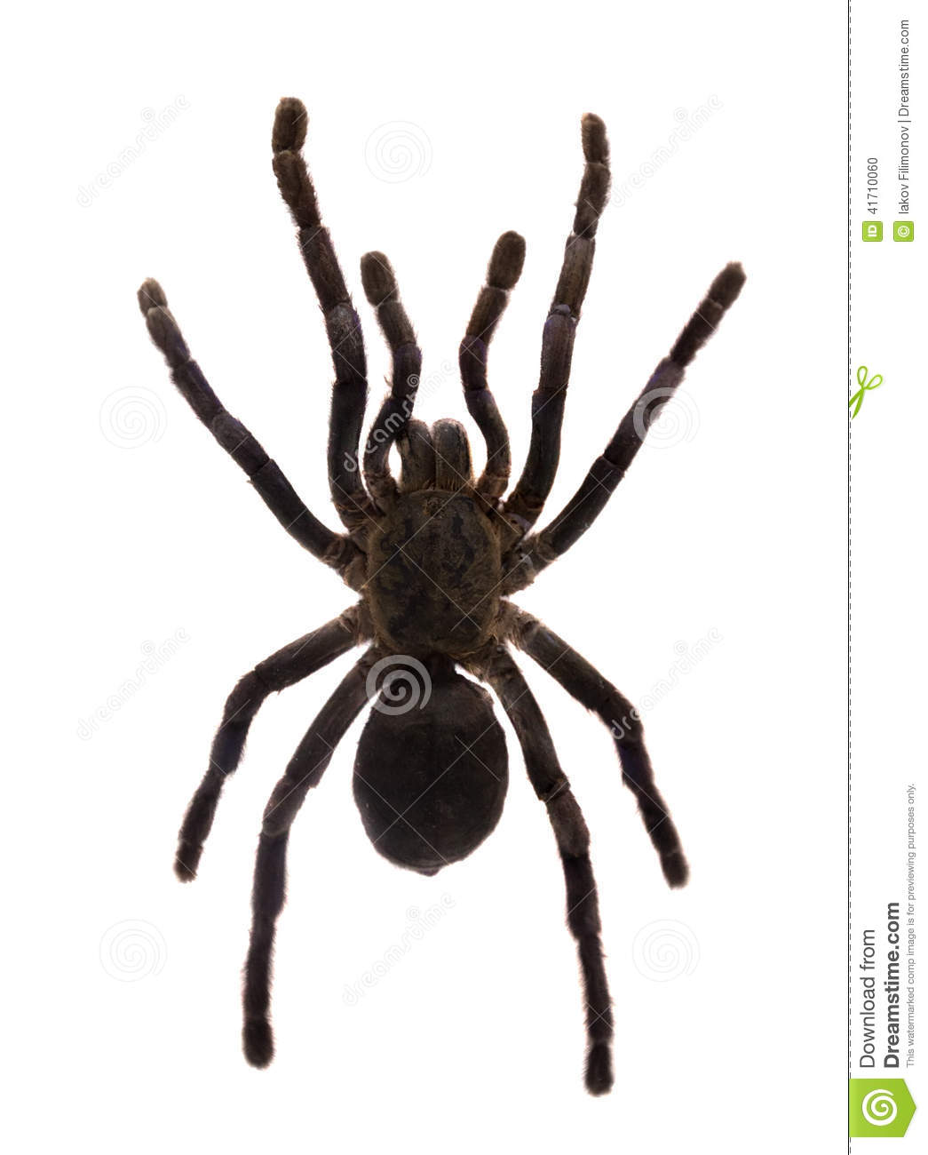 Tarantula. Isolated Over White Stock Photo - Image: 41710060