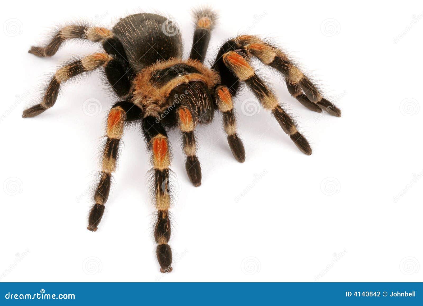 Tarantula mexicain de Redknee (smithi de Brachypelma)