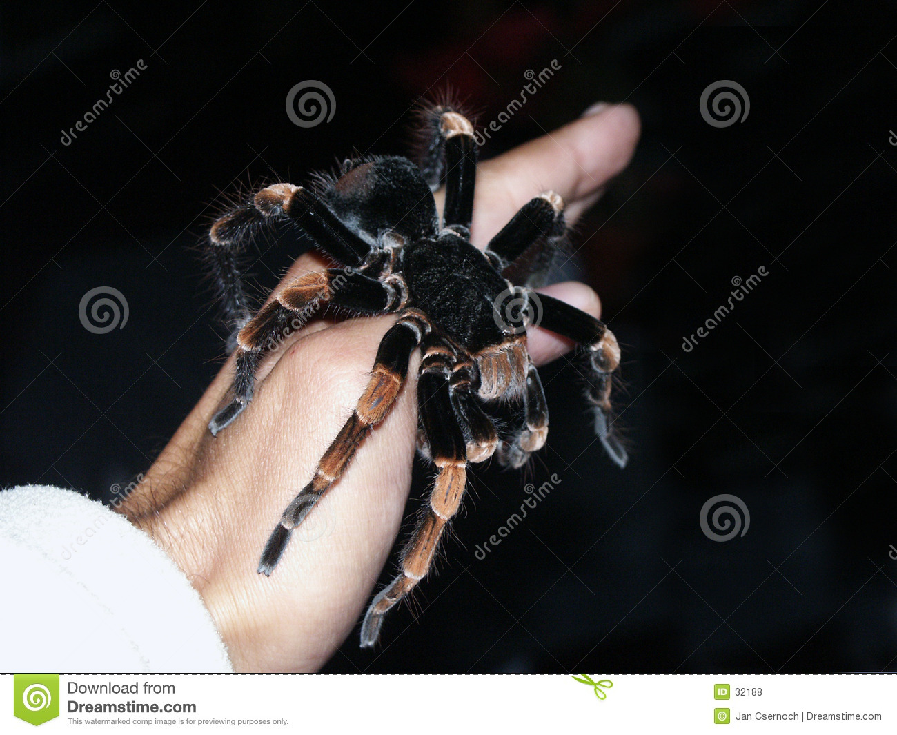 Tarantula spider on hand