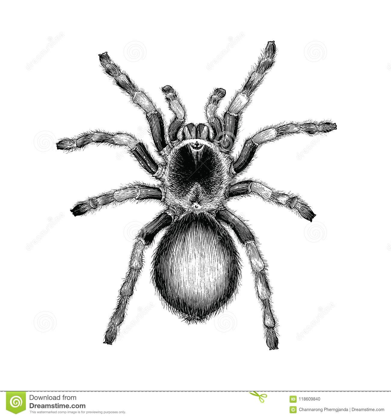 Tarantula Spider Hand Drawing Vintage Engraving Illustration