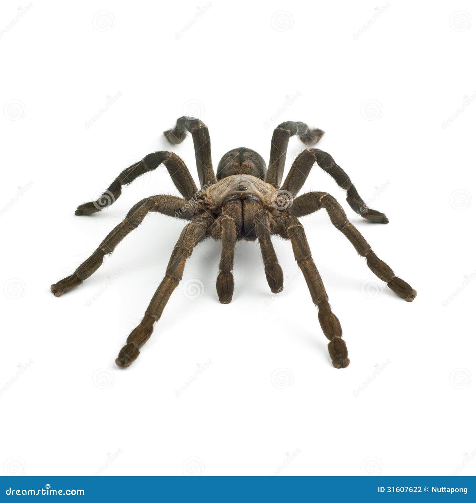 Tarantula Spider Stock Photography - Image: 31607622