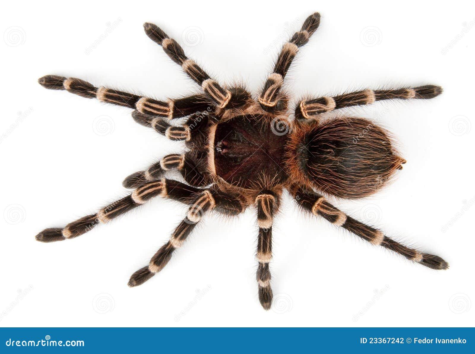 Tarantula Top View Stock Photography Image 23367242