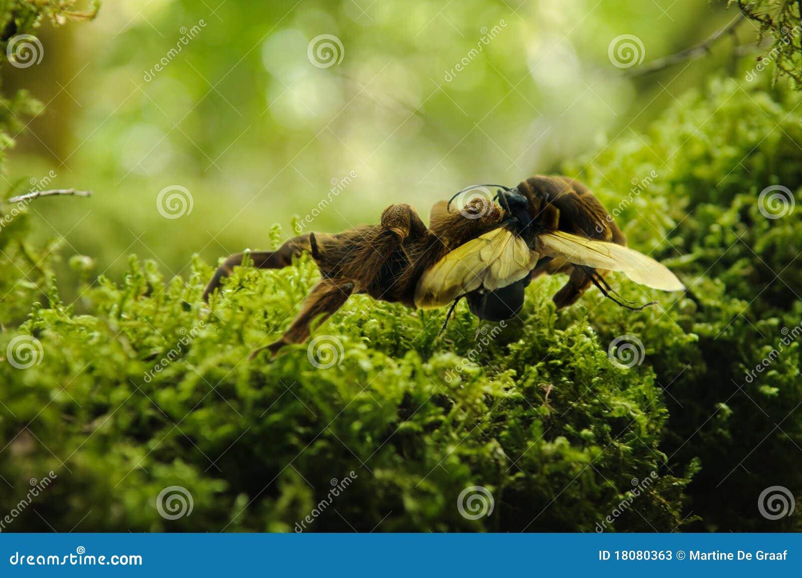 Tarantula- und Falkewespe