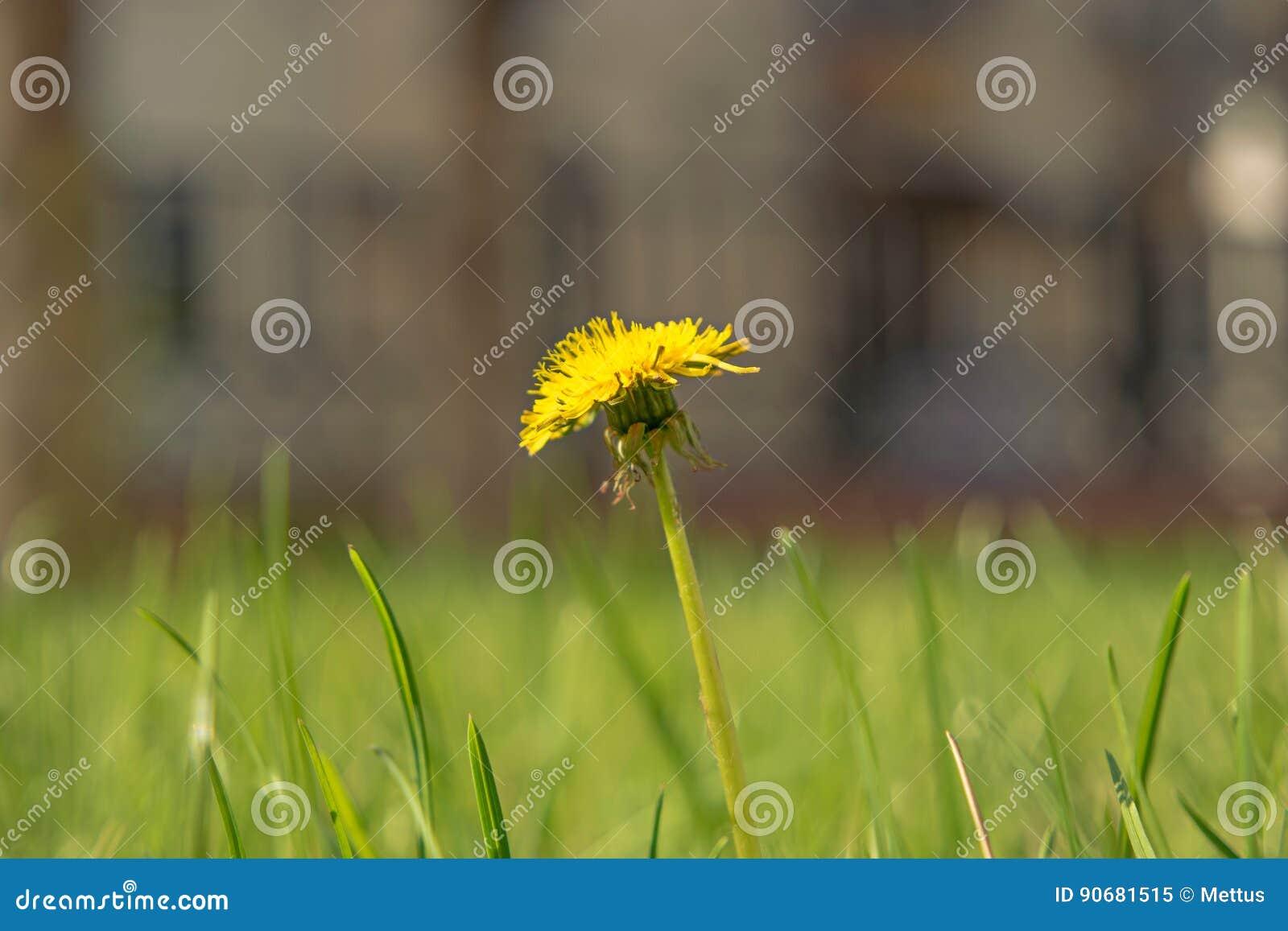 Taraxacum campylodes, κίτρινο λουλούδι του νέου dandellion στον πολύβλαστο μακρο πυροβολισμό χλόης
