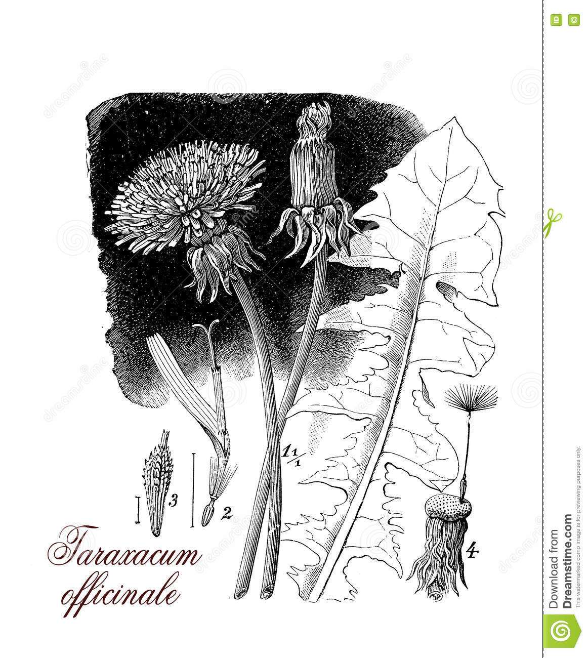 a description and importance of the taraxacum officiale a perennial herb 2 the perennial herb taraxacum officinale  in ways that favour the spread of other non-native species  of the importance of facilitation by native .