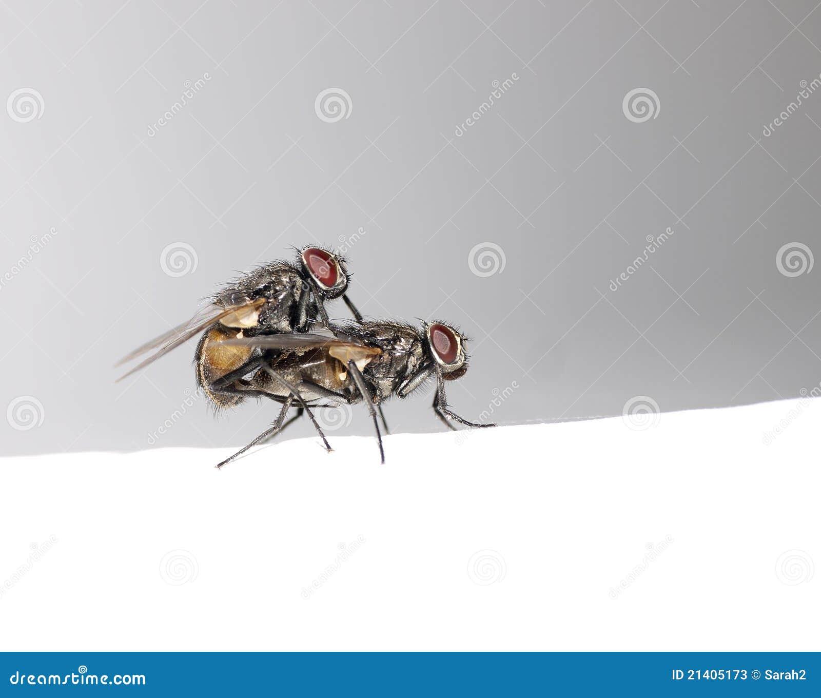 Target1223_1_ prokreację komarnic houseflies dwa