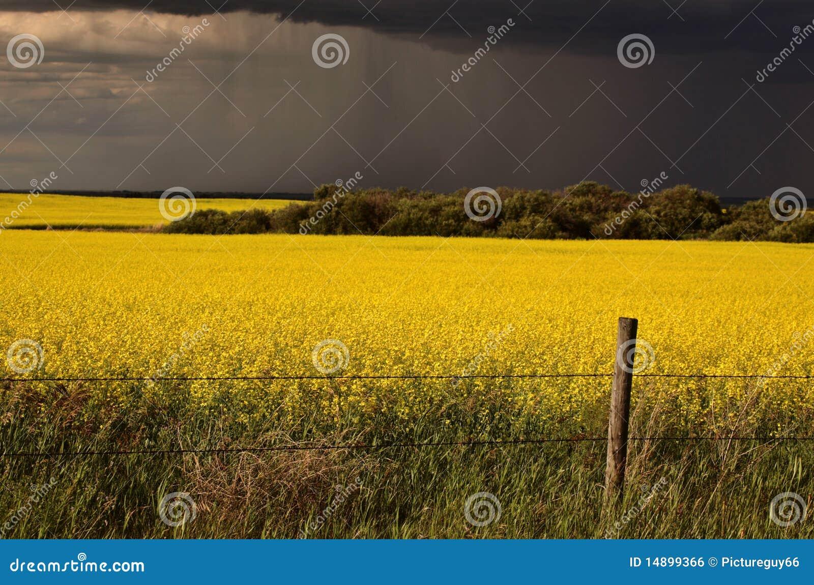 Target14_0_ canola uprawy przodu deszcz Saskatchewan