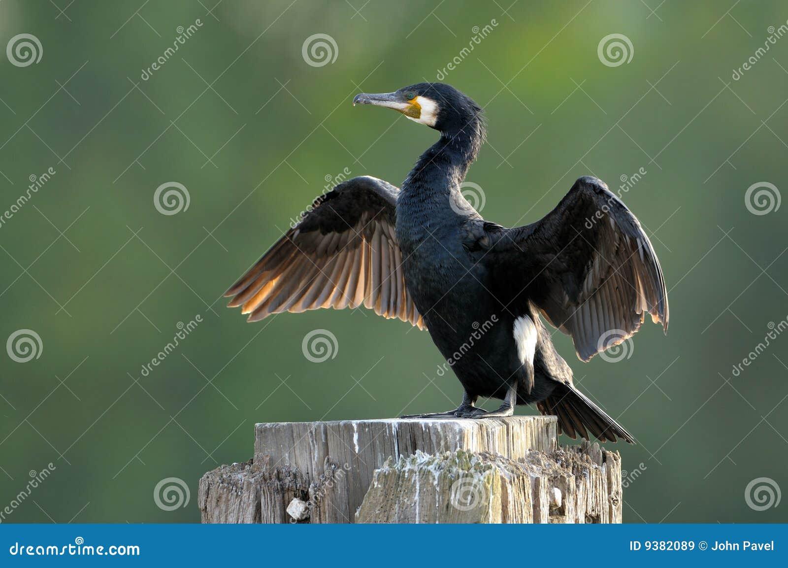 Target1727_1_ phalacrocorax wielkich skrzydła carbo kormoran