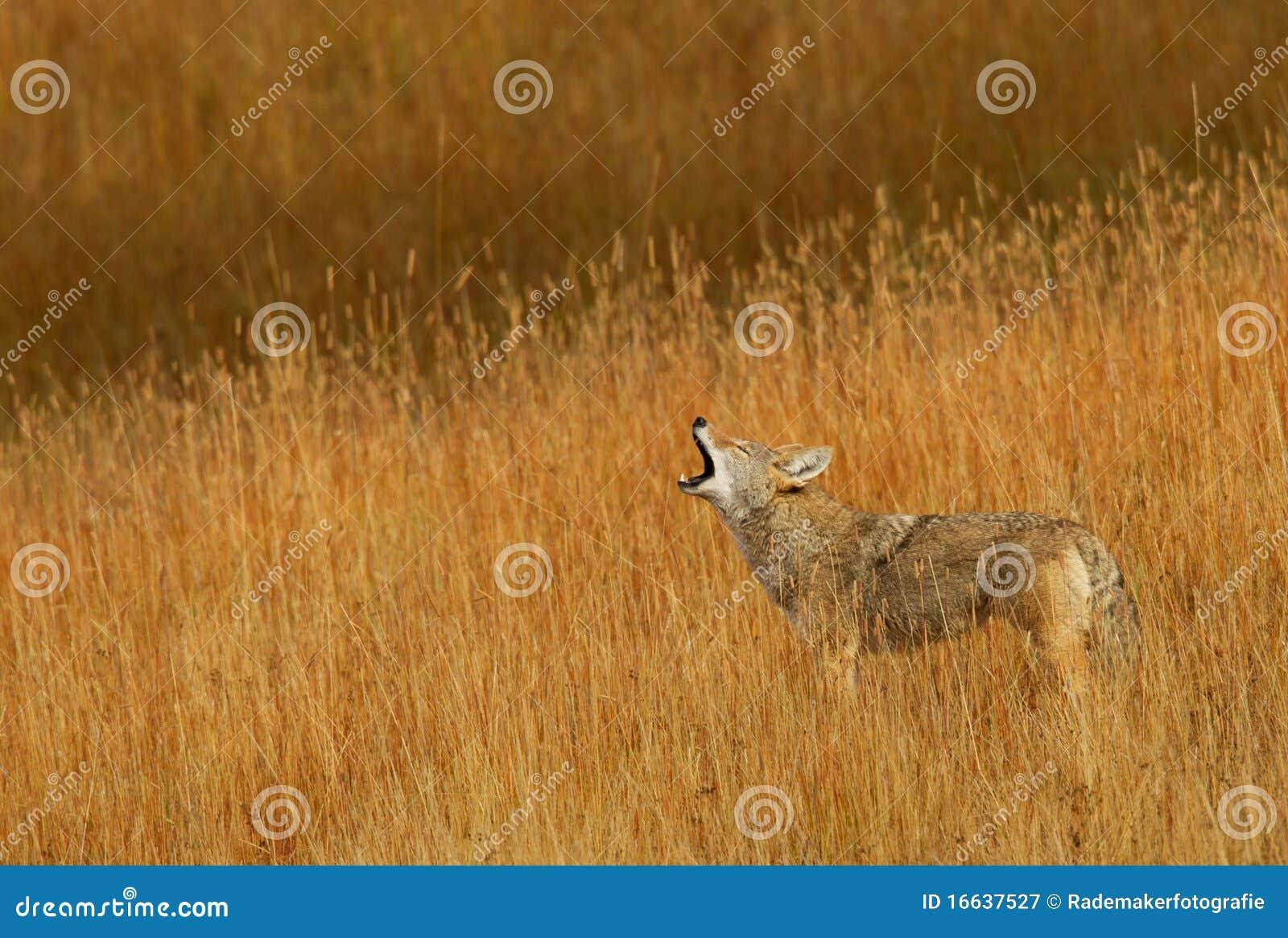 Target998_0_ kojota