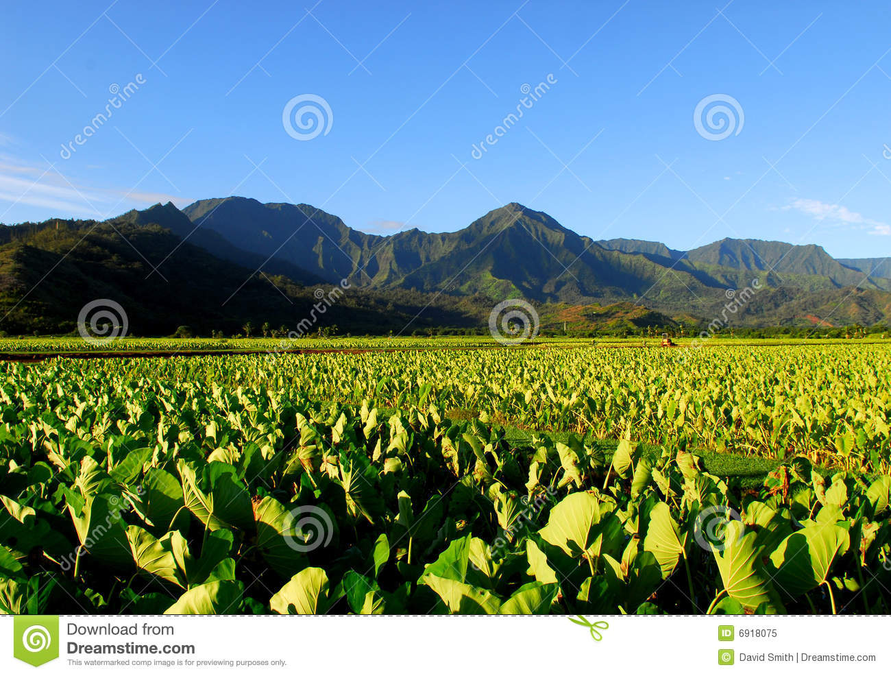 Taro field in Kauai Hawaii